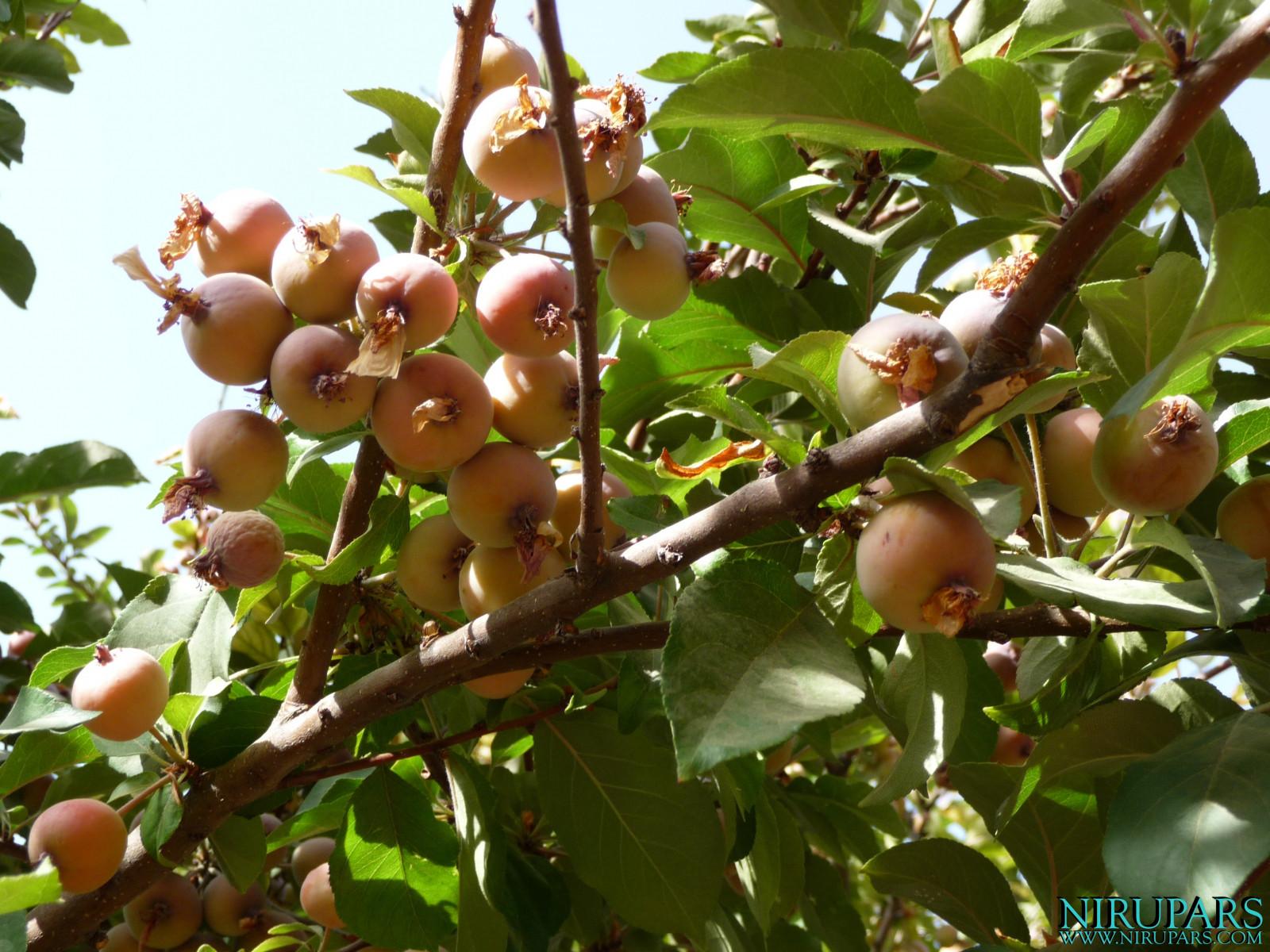 Baq-e Eram - Garden - Fruits