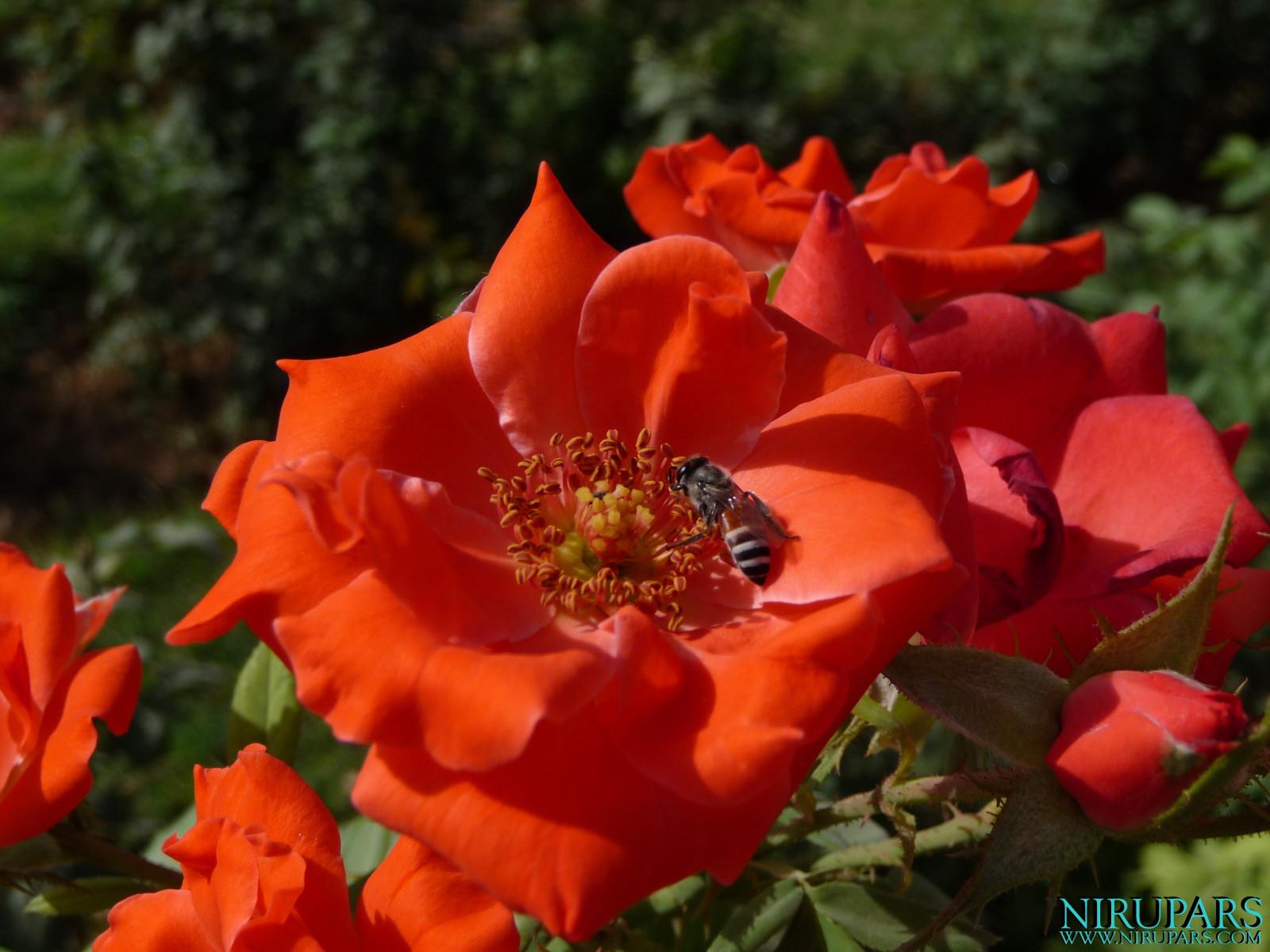 Baq-e Eram - Garden - Rose