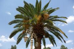 Baq-e Eram - Date Palm