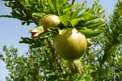 Baq-e Eram - Garden - Fruits