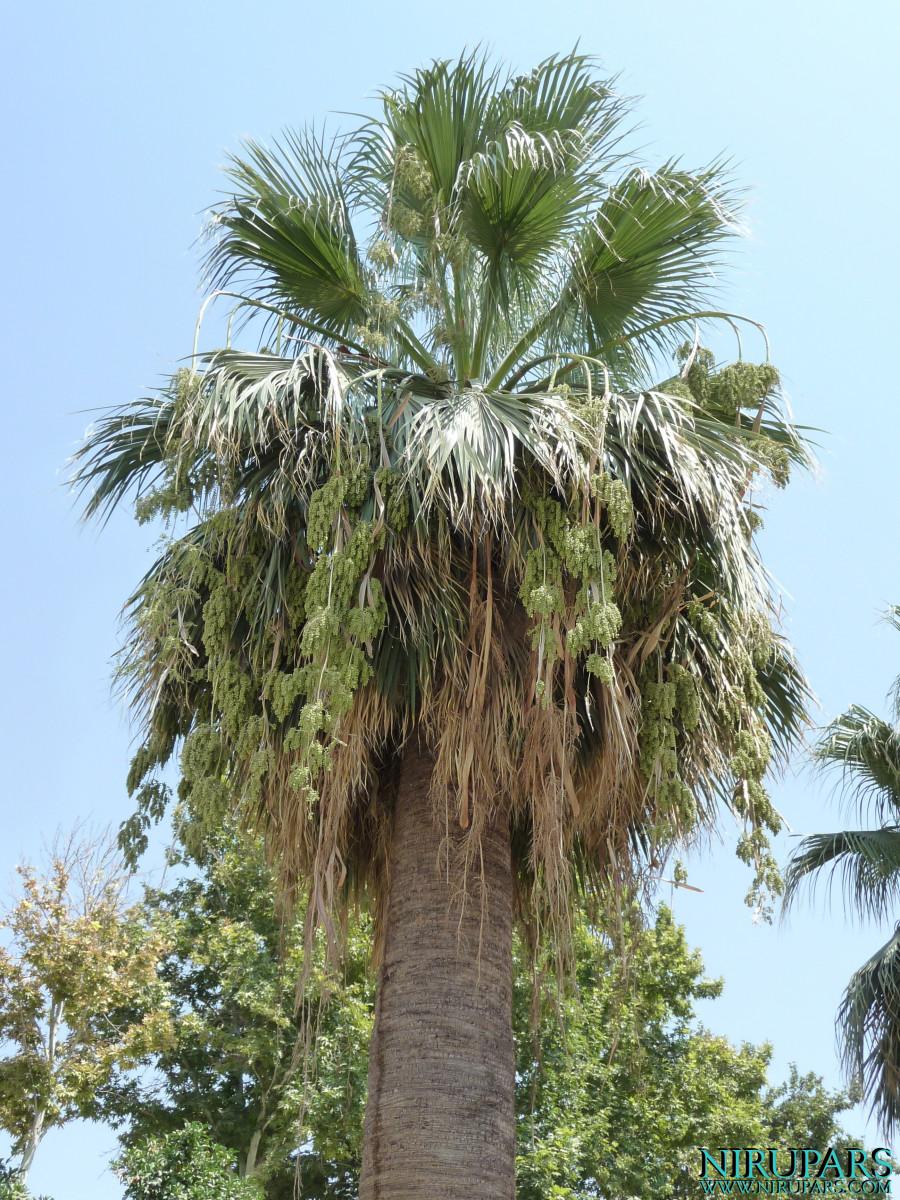 Baq-e Afifabad - Garden - Palm