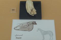 National Museum of Iran - Bone Equidae