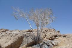 Persepolis - Kuh-e Mehr - White Tree