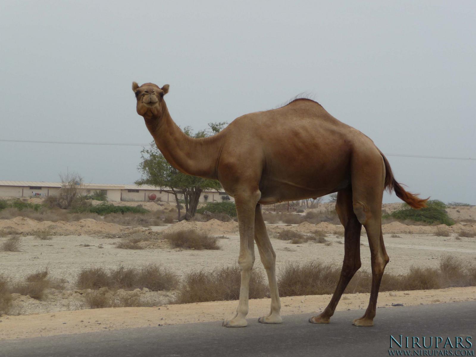 Qeshm Island - Camel